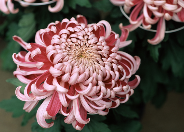 chrysanthemum-750
