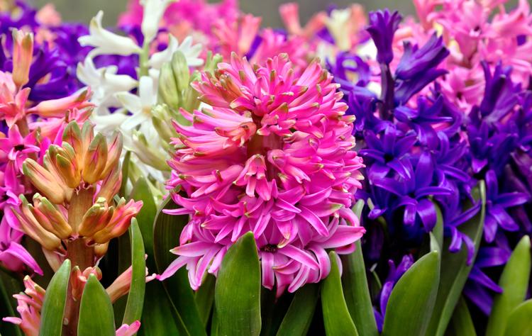 hyacinth-750