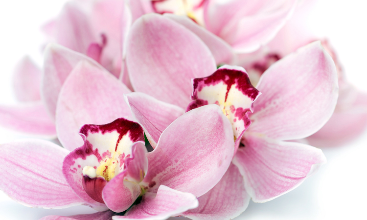 orchids-pink-750