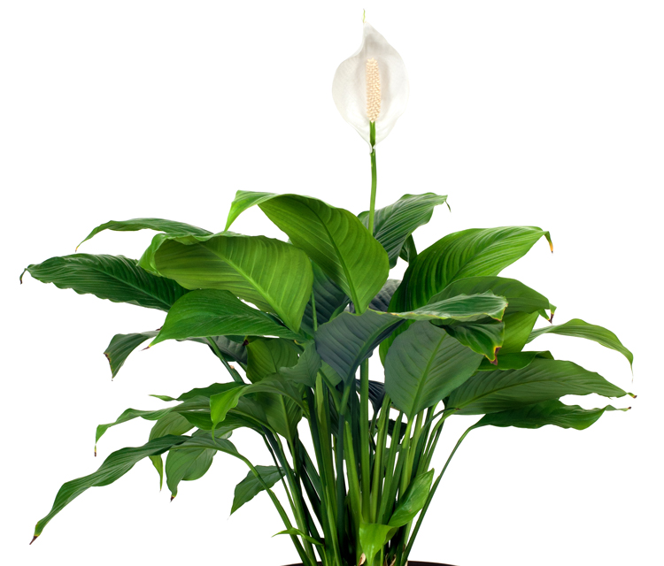 peace-lily-plant-750